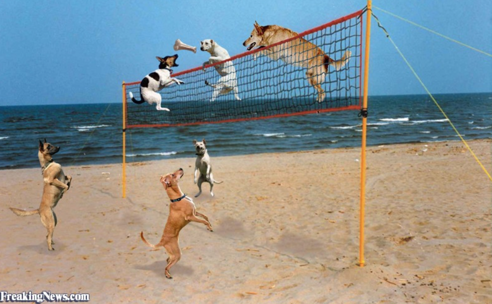 Pawsitively Awesome Beach Volleyball Plays By DOGS!